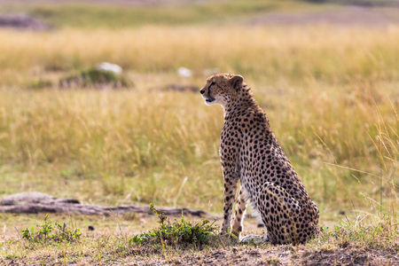 The cheetah watches the savannah. Masai Mara, Kenya
