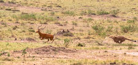 Photo series: Cheetah hunting for big Impala. The seventh episode. Masai Mara, Kenya