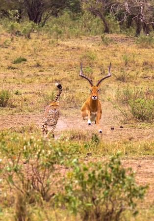 Photo series: Cheetah hunting for big Impala. The ninth episode. Masai Mara, Kenya Stockfoto