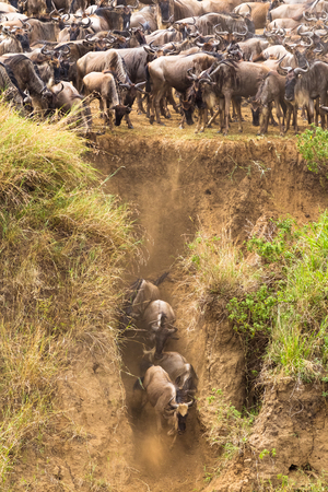 The beginning of a great migration of wildebeest. Kenya Фото со стока