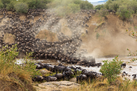 Huge herds of herbivores cross the river. Masai Mara, Kenya Imagens