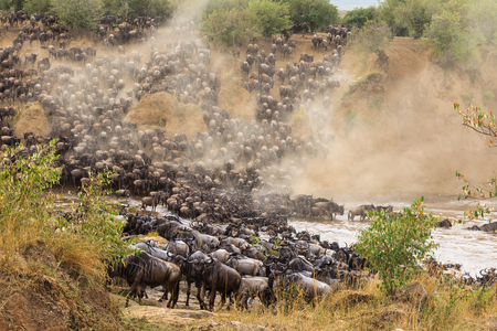 Great migration in Africa. Huge herds of herbivores cross the Mara River. Kenya