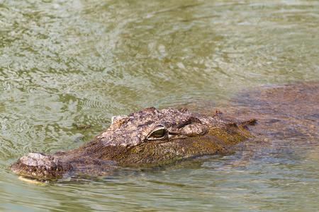 Portrait of a sleeping crocodile. Lake Baringo, Kenya. Stock Photo