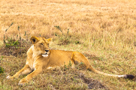 Large young lioness resting in the grass. Kenya, Africa