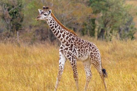 Newborn giraffe in the clearing. Kenya, Africa