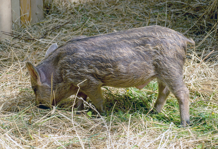 pigling: the young boars eating hay in a corral Stock Photo