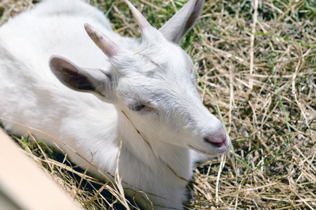 bleating: young goat eating hay in a corral