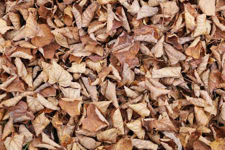 Top view of fallen leaves in surface background plain in flat lay. Withering and old age of autumn