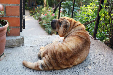 Older dog sharpei lies peacefully in the courtyard near the entrance to the garden. She turns her head back to the viewer