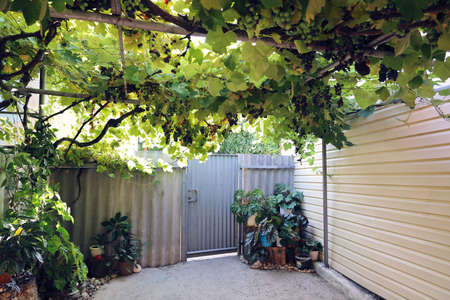 Courtyard with gate, from above stretches a vine with partially ripe berries on summer sunny day without people