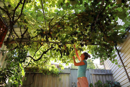 Young woman tries to reach the branches of vine above the yard to pluck some grape and try their ripeness