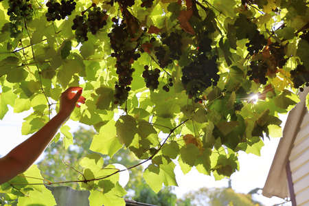 Female hand reaches for dark berries of grapes on branch of vine at the top in the rays of sunlight Foto de archivo