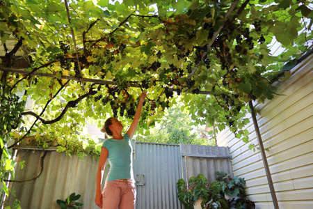 Young woman tries to reach the branches of vine above the yard to pluck some grape and try their ripeness. Wide angle shooting on sunny summer day