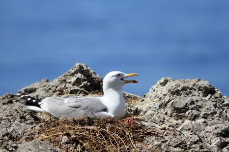 brood: seagull a brood hen on a nest near the sea