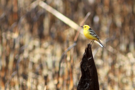 elegant yellow wagtail photo