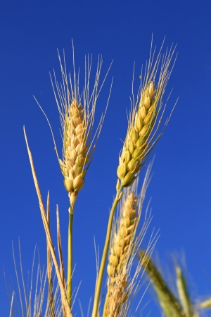Cones of wheat ripen under the summer sun against the blue sky photo