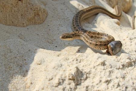dione: Elaphe dione snake
