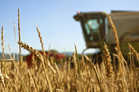 wheat field with blured combine harvestor at background photo