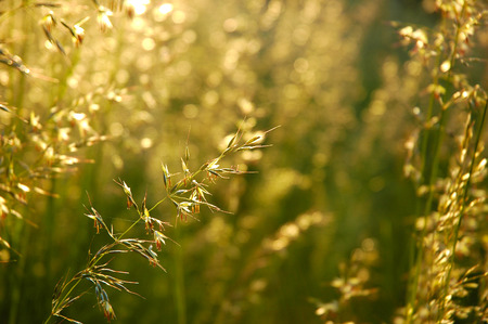 Detail of flowering grass blossoms photo