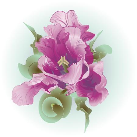 fuchsia color: tulip Illustration