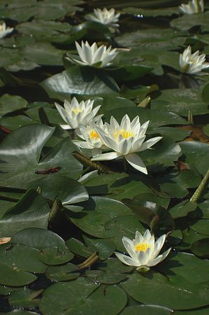 White lotus with big green leaves in a pond on sunny day