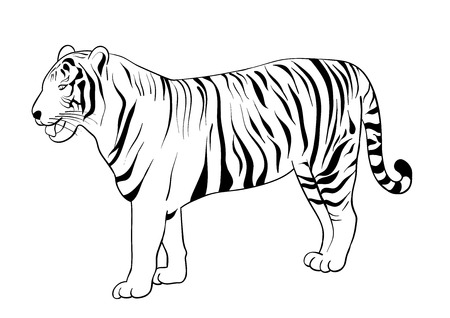 white tiger: Black silhouette of tiger isolated on the white.