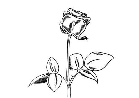 Black sketch of rose on white background. Vector