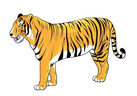 bengal: Tiger isolated on white background.