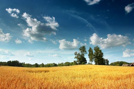 Golden field by the sunny day Stock Photo - 6912978