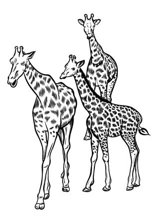 Family of three big giraffes. Vector