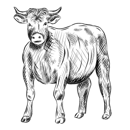 bull isolated on the white Vector