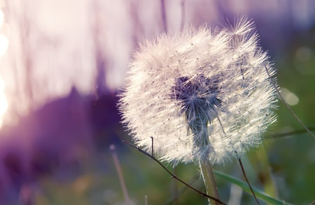 blowball on the abstract background