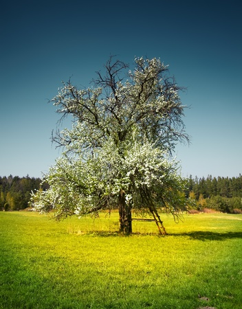 spring tree on the meadow photo
