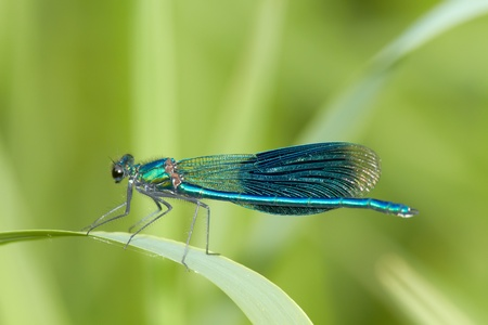 damsel: damselfly on the green background