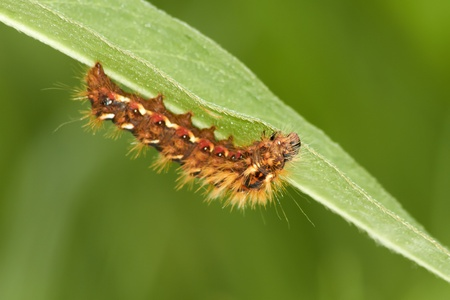 arthropod: catterpillar on the green leaf