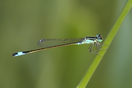 zygoptera: Damselfly on the green background