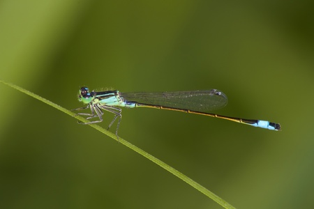 damselfly on the green background photo