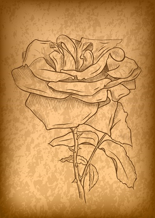 rose on the old paper Vector