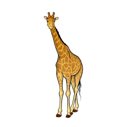 cuello largo: jirafa, aislado en el wite