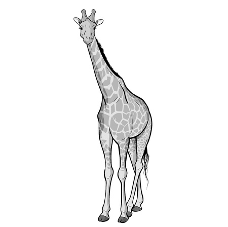 african grey: giraffe isolated on the white Illustration