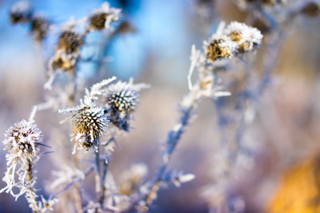 accretion: Frozen thistle on the color background. Stock Photo