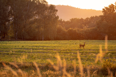 Summer landscape by sunset. Green field with deer.