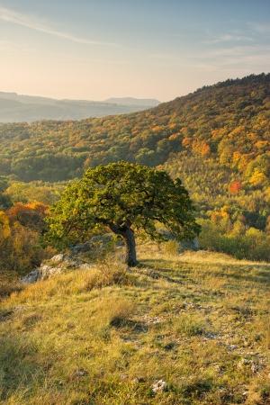 autum: Oak tree in autum - Palava hills