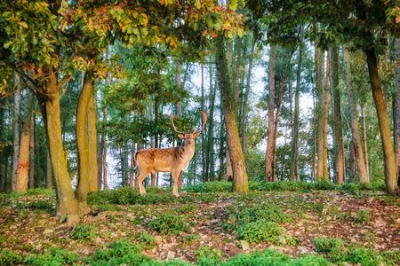 fallow deer: Fallow deer in the wood