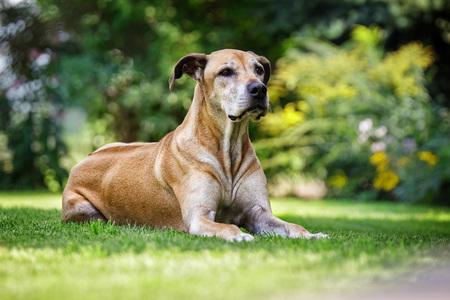 ridgeback: Ridgeback - beautiful big dog sitting