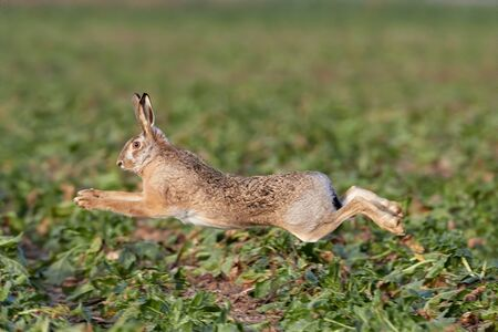 European hare is running in the beautiful light on green grassland,european wildlife, wild animal in the nature habitat, , lepus europaeus. Standard-Bild