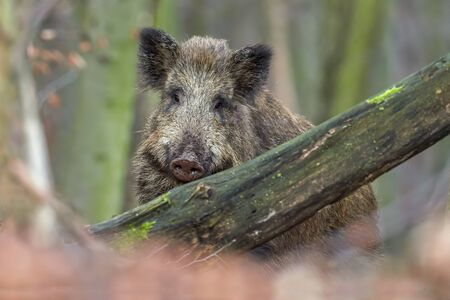 Wild boar (sus scrofa) walking in forest on morning and looking at camera. Wildlife in natural habitat. Portrait of a big animal. Banco de Imagens