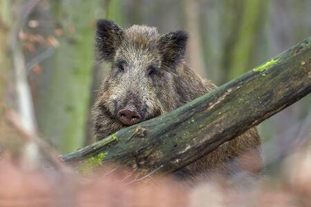Wild zwijn (sus scrofa) wandelen in het bos op ochtend en kijken naar de camera. Dieren in het wild in natuurlijke habitat. Portret van een groot dier.