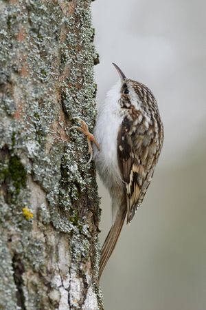 Eurasian or common treecreeper (Certhia familiaris) perching on a pine trunk with green blurred background. Little passerine bird with streaked and spotted brown upper part and whitish inner part. 写真素材