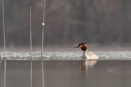 The great crested grebe (Podiceps cristatus) on water in artistic morning golden light.